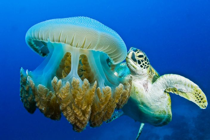 Pete Atkinson-green turtle-feeding-jellyfish