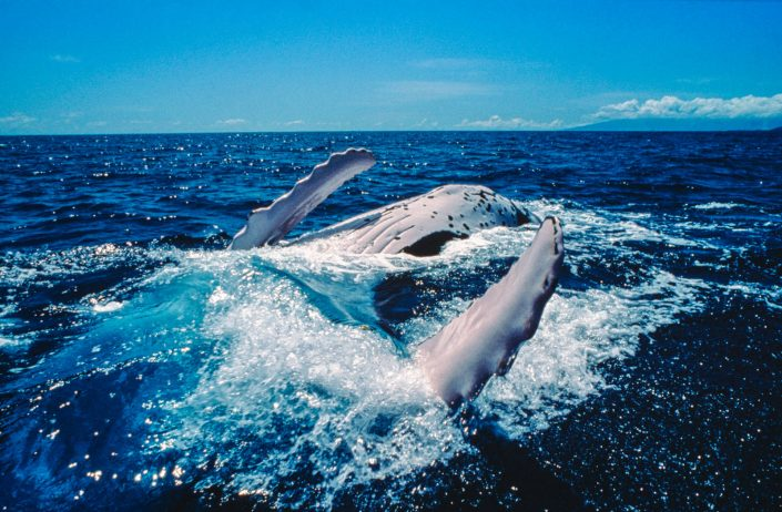 Pete Atkinson-humpback whale at the surface