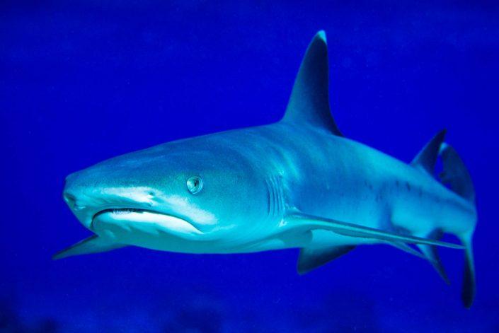 Pete Atkinson-white tip reef shark
